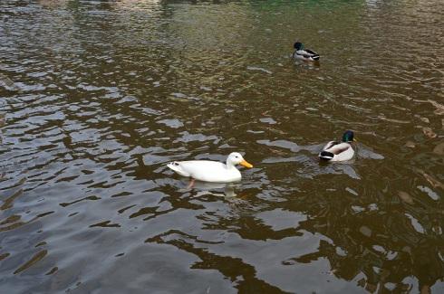 Bebek Mandi di Sungai (Dok. Pribadi)