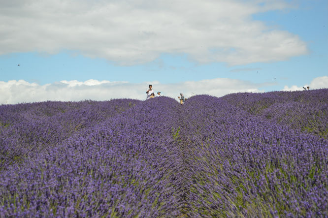 panen_gandum_lavender_3