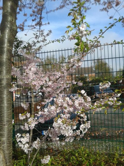 bunga_sakura